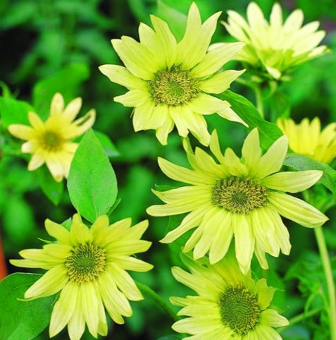 sunflower-jade-burpee_9177