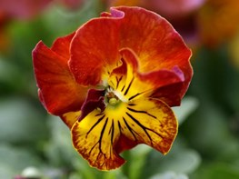 <em>Viola Angel Amber Kiss</em>