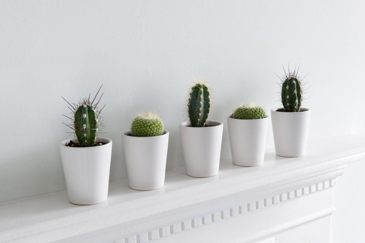 Cacti in small white ceramic pots on shelf