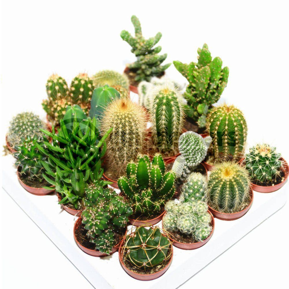 Cactus Mix - 10 Plants by Gardeners Dream