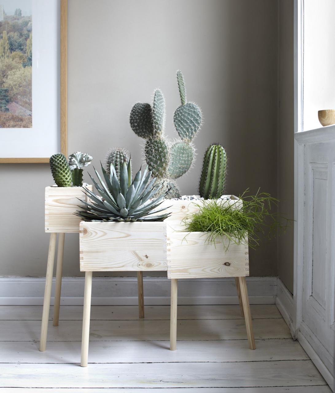 Cactus plants in room