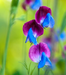 <em>Lathyrus odoratus</em> 'Matucana' (Sweet pea) - Photo by: Rob Cardillo.